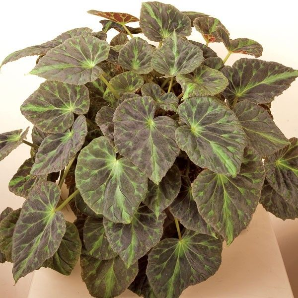 Barsaloux S Begonia Begonia Barsalouxiae B Browse By Common Name Begonie