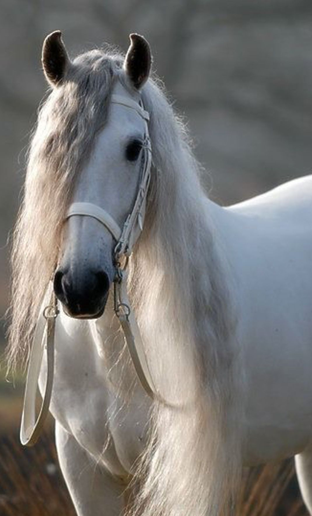Pin By Lisa Mcdonald On Horses Horses White Horses Pretty Horses
