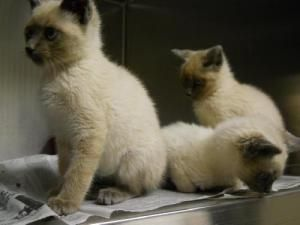 Saki Is An Adoptable Siamese Cat In Southampton Ny You Can Fill