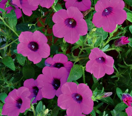 Petunia Your Presence Soothes Me