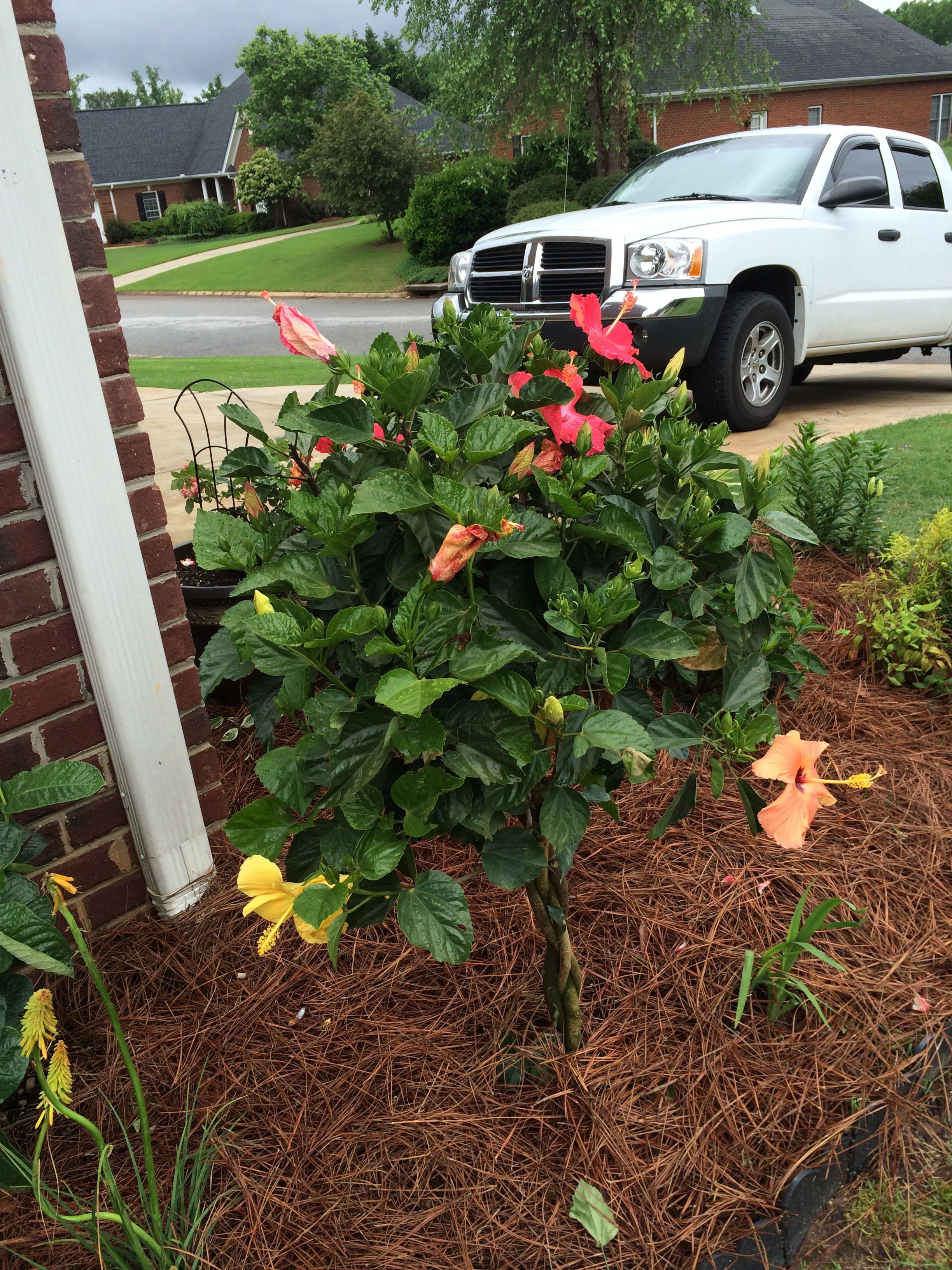 Braided Hibiscus Tree With 3 Different Colored Blooms With Images