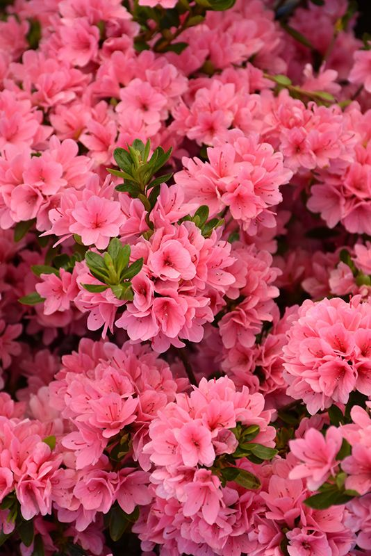 A Evergreen Sun To Partial 3 X4 Midspring Coral Bells Azalea Rhododendron Coral Bells At Pender Pines Ga Coral Bells Azaleas Landscaping Azalea Flower