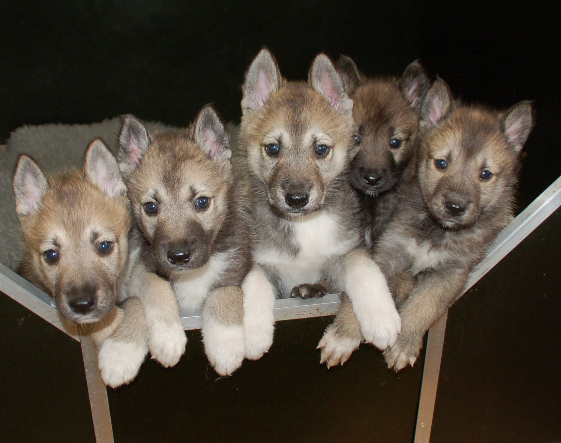 Tamaskan puppies. i want one of these! they are like wolves ...
