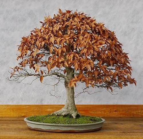 bonsai fagus sylvatica rotbuche mit winterlaub bilder. Black Bedroom Furniture Sets. Home Design Ideas