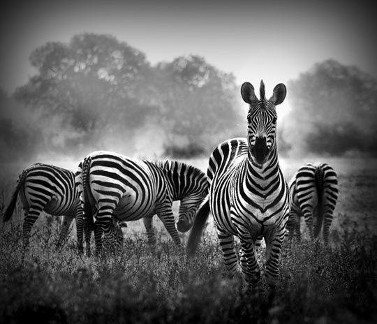 Zebras..