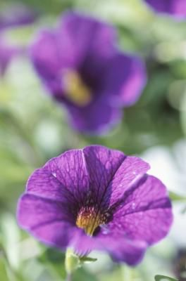 What Can I Spray On Petunias So Bugs Do Not Eat Them Hunker Annual Plants Petunia Plant Wave Petunias