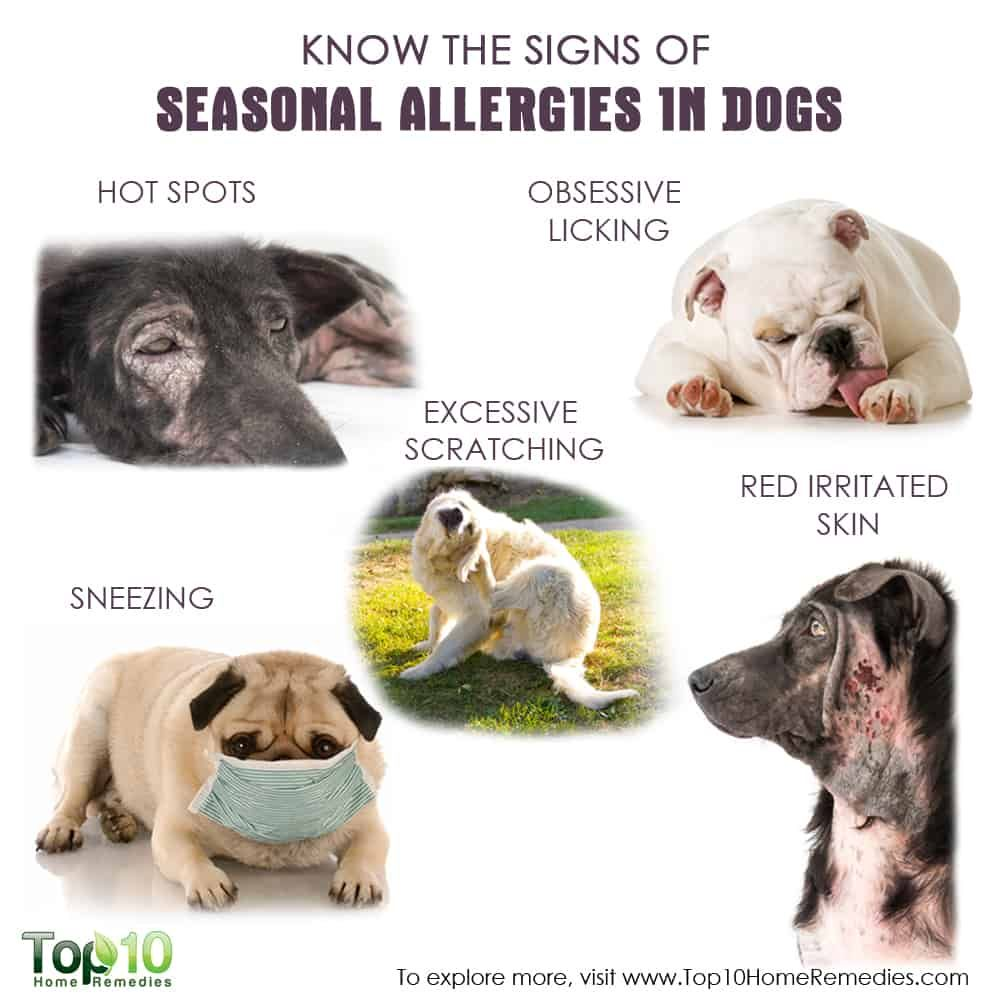 Know The Signs Of Seasonal Allergies In Dogs Top 10 Home Remedies Dog Allergies Seasonal Allergies Dog Remedies