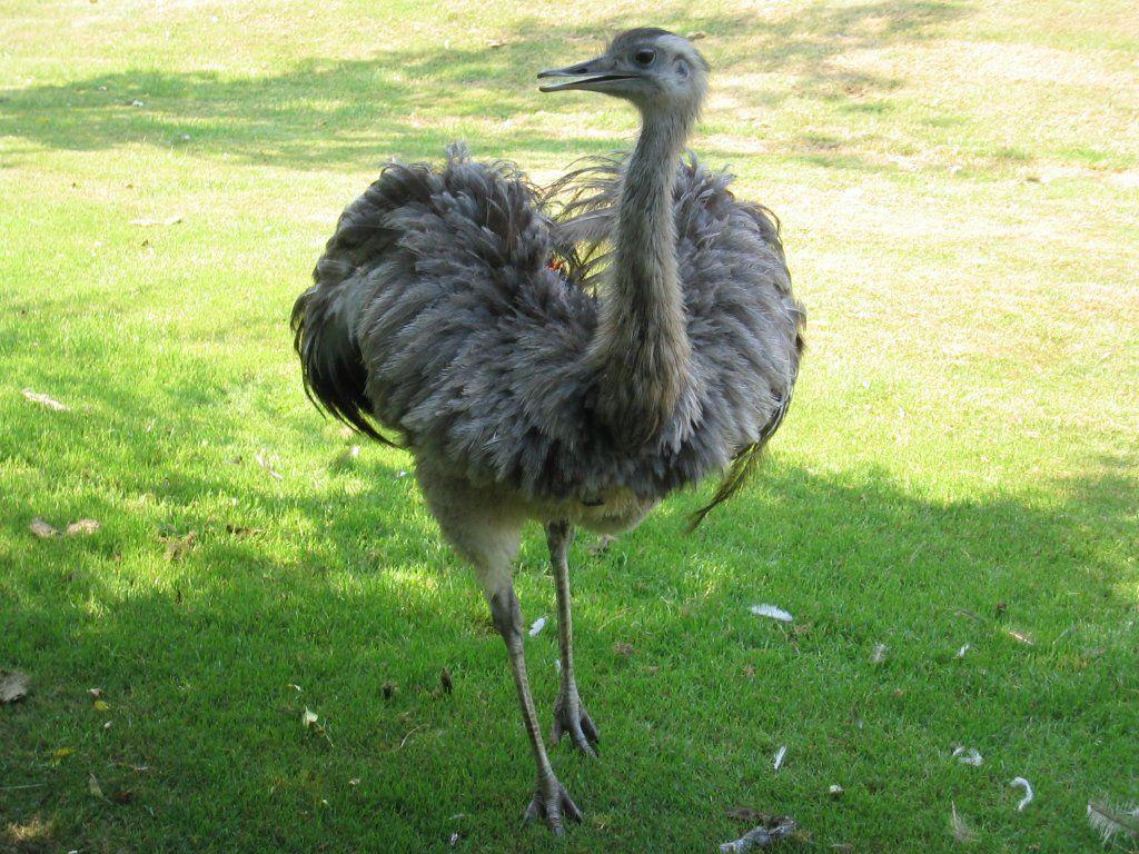 Emu Mobili ~ Best emu project images emu animal kingdom and