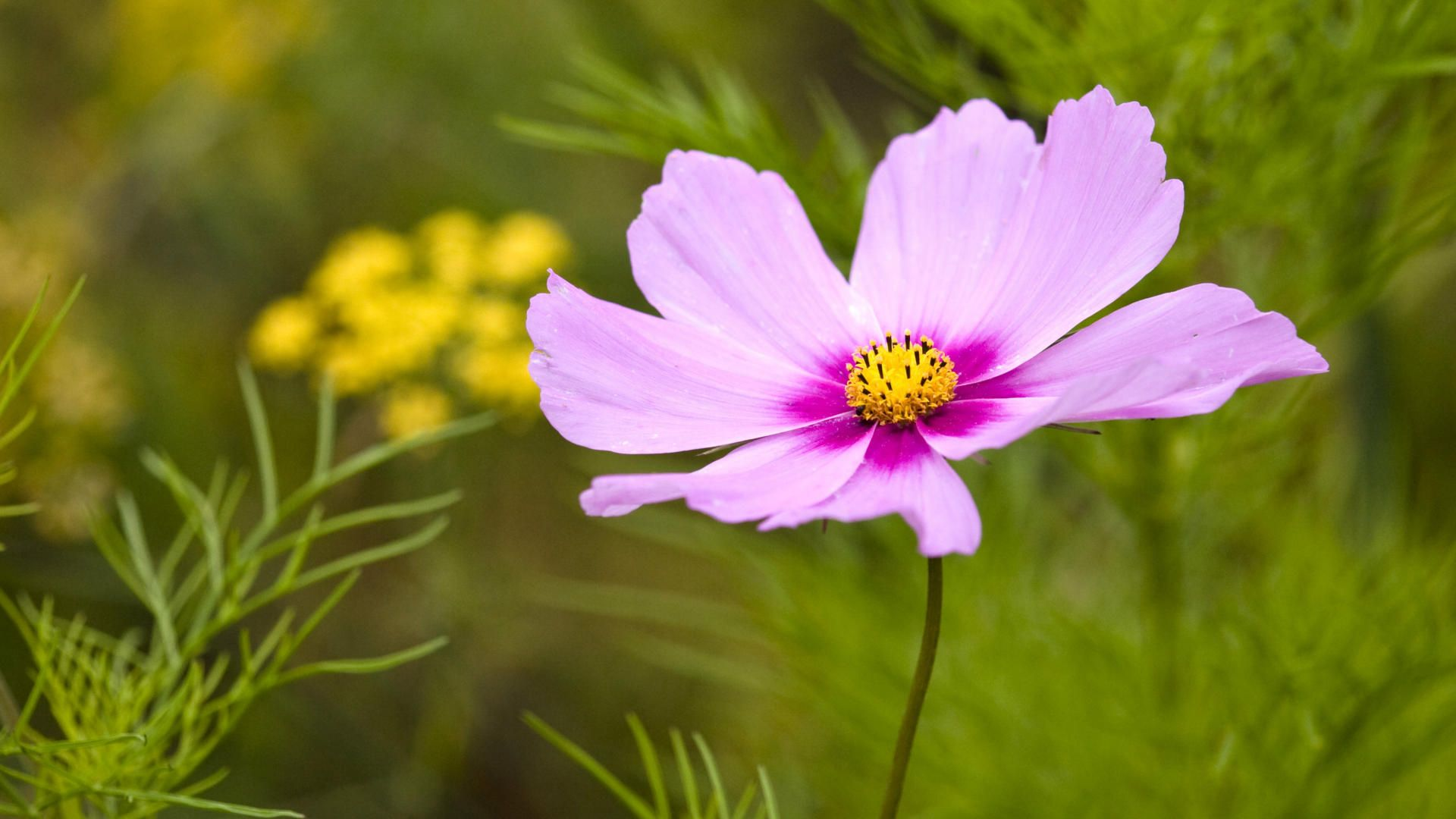 40 beautiful flower wallpapers free to download cosmos aster 40 beautiful flower wallpapers free to download voltagebd Gallery