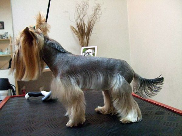 Miniature Schnauzer Hair Styles: Explore Yorkie Haircuts Pictures And Select The Best Style