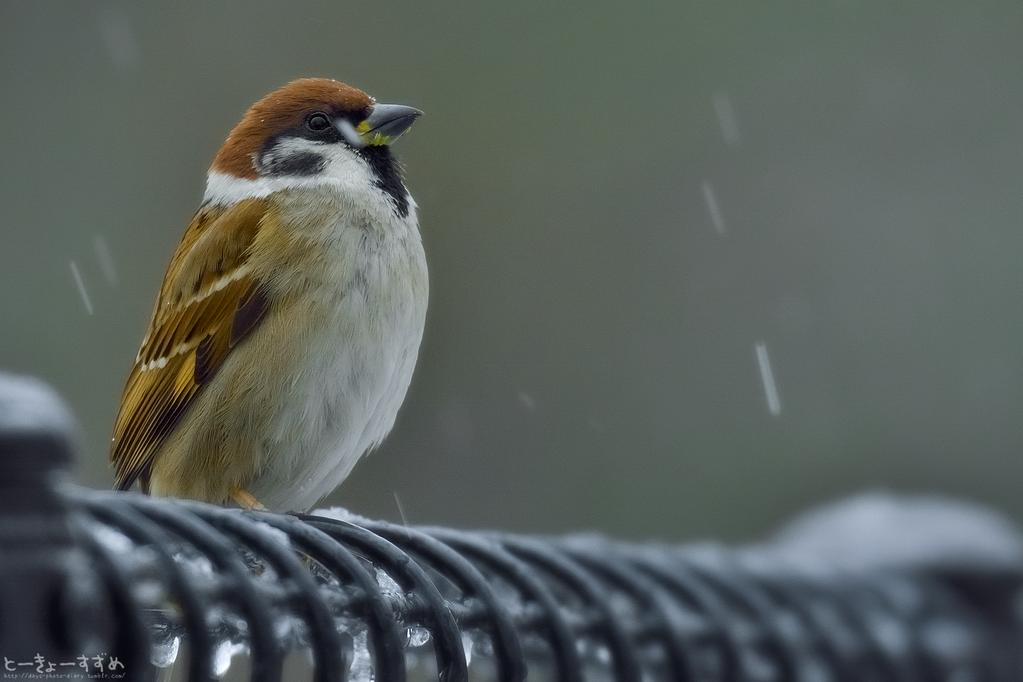 今のところ、雪混じりの雨が降ったり止んだりです。 #スズメ #鳥 #Birds #東京 #写真好きな人と繋がりたい #お話 #雨 #雪降ってない