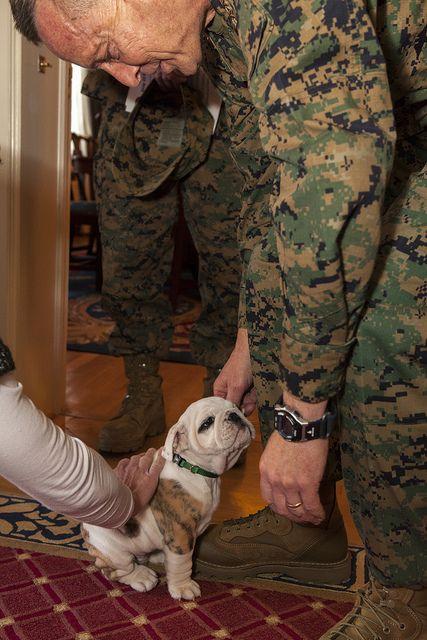 The New Marine Corps Mascot Cute Sweet Puppy Puppies Bullies