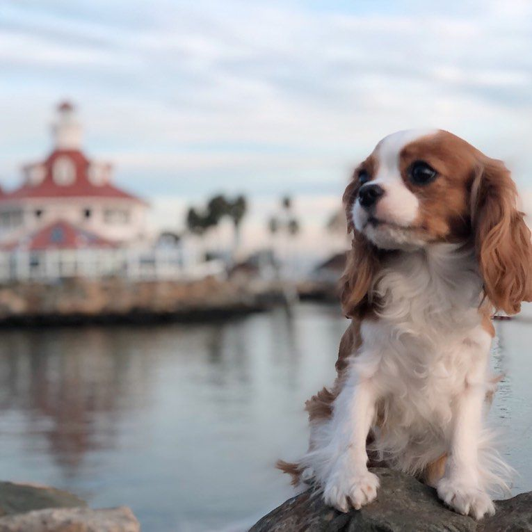 30 Best Dog Names For Cute Cavalier King Charles Spaniels [PICTURES]