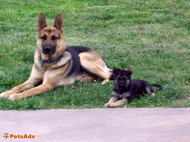 Drakes Branch Virginia United States German Shepherd Puppies