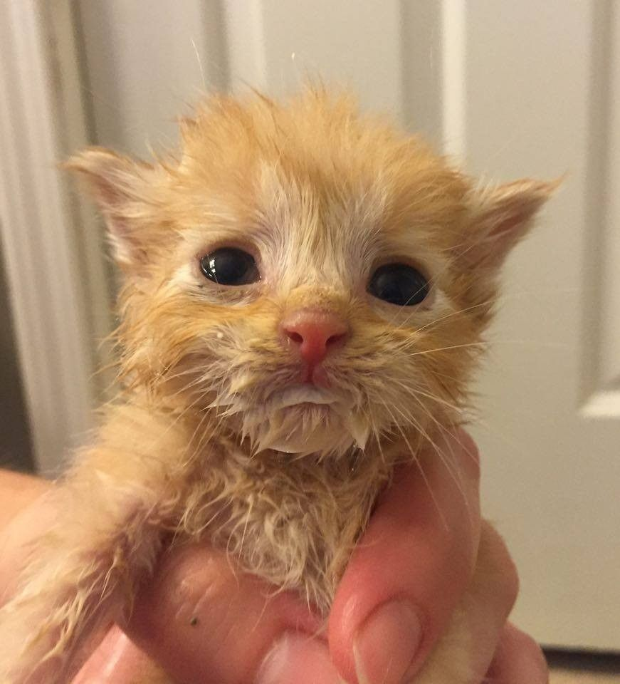 Slurpee The Orphaned Ginger Adopted By 9 Other Orphaned Kittens Cute Cats And Kittens Kitten Eyes Ginger Kitten