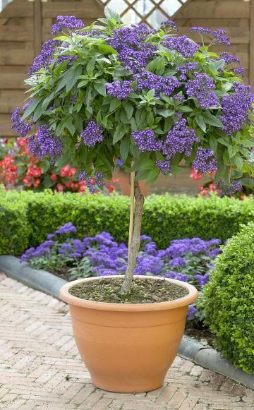 vanilleblume als hochst mmchen ziehen gardening pinterest hochst mmchen garten und vanille. Black Bedroom Furniture Sets. Home Design Ideas