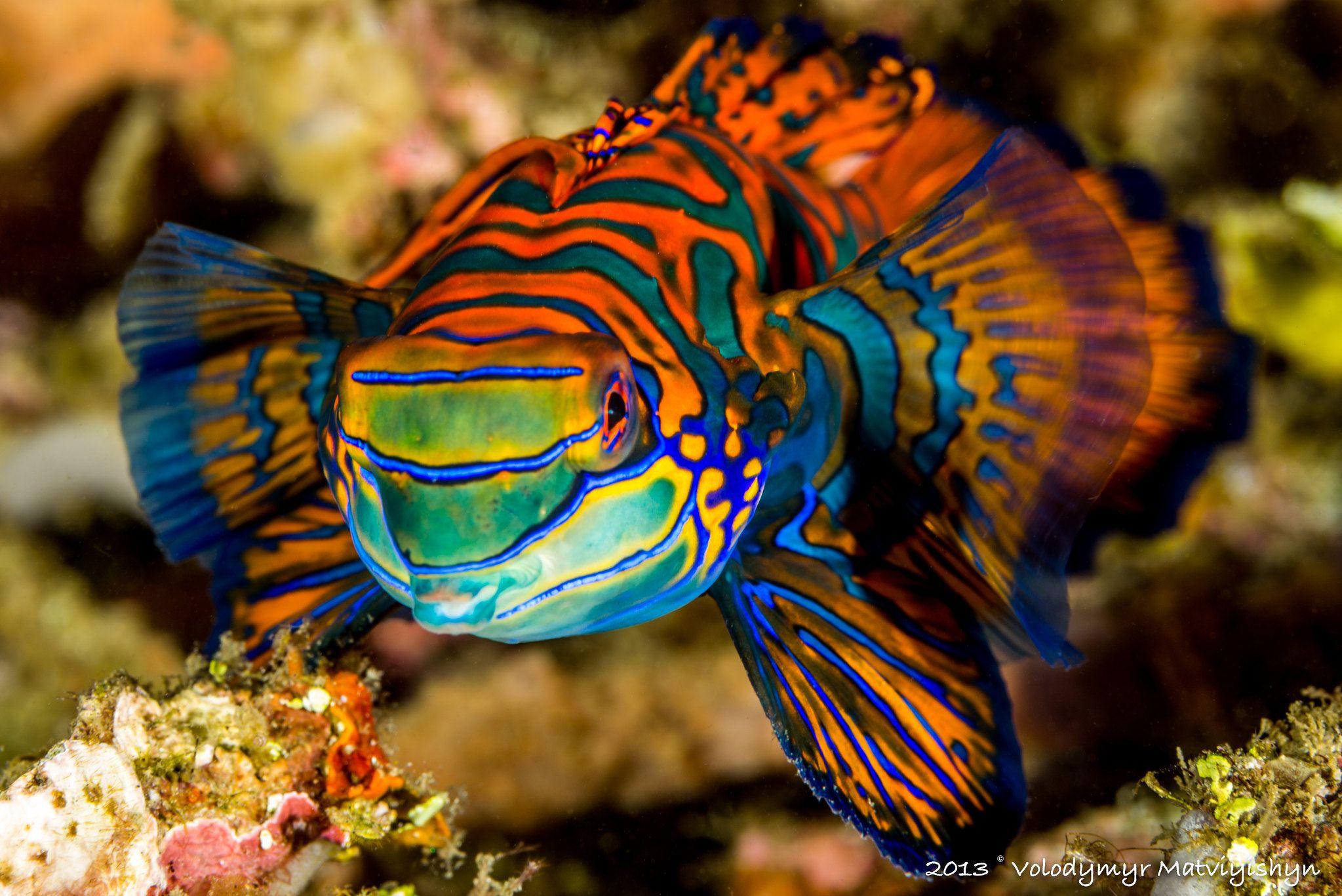 Mandarinfish Synchiropus Splendidus