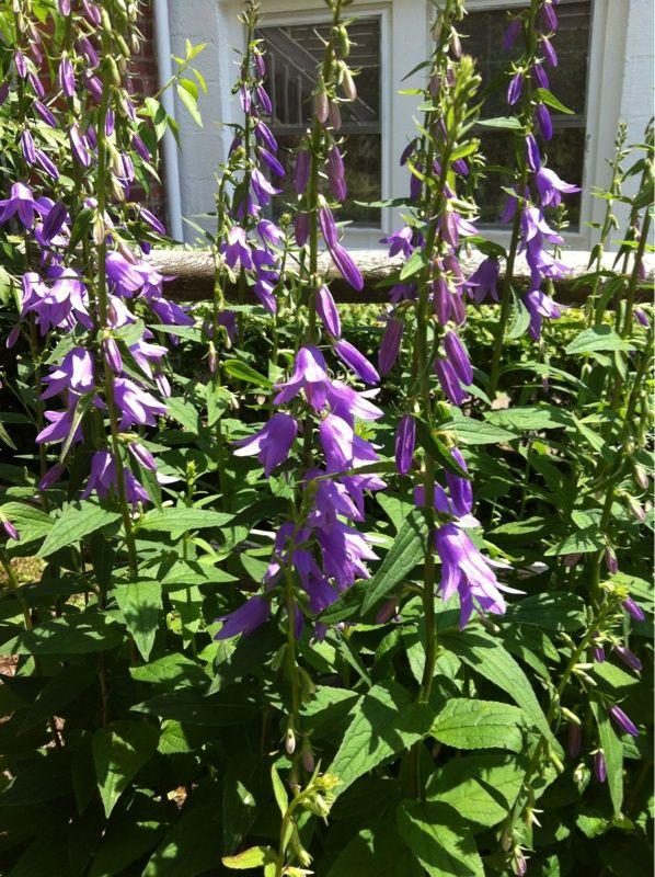 Garden Answers Plant Identification Plant Identification Bloom Bellflower