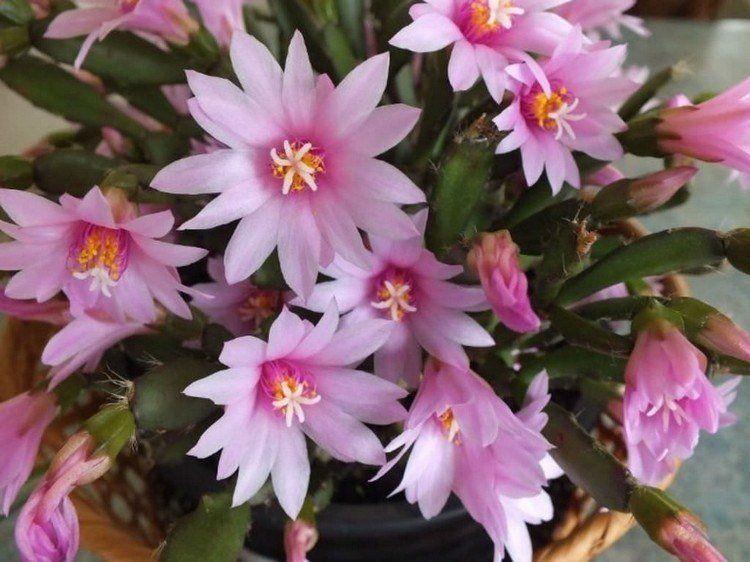 Cactus de Pâques: comment le planter et l'entretenir ...