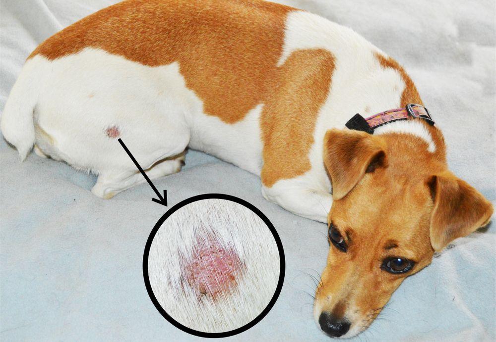 강아지 링웜 증상 및 관리법 강아지 건강