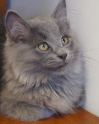Adopt Jethro On Cat Adoption Grey Cats Cats And Kittens