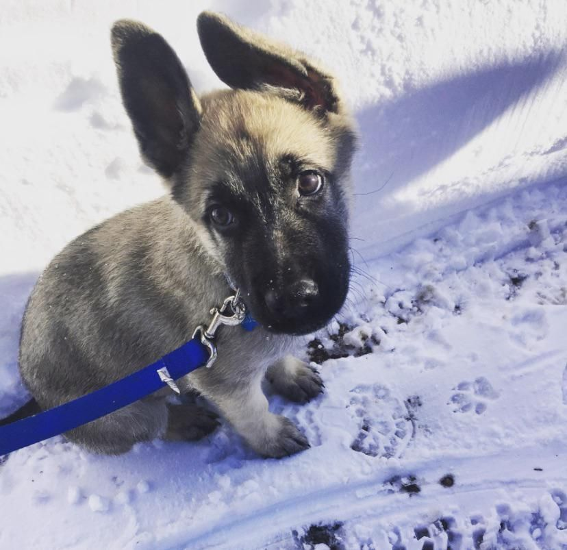 Rusty the German Shepard in his first snow #Music #IndieArtist #Chicago #germanshepards Rusty the German Shepard in his first snow #Music #IndieArtist #Chicago #germanshepards