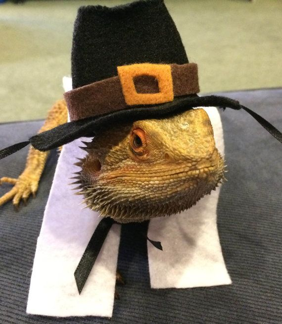 Discover ideas about Pilgrim Costume. Pilgrim Costumes for Bearded Dragons! & Pin by Kamrie Bunce on Dragon | Pinterest | Pilgrim costume Bearded ...
