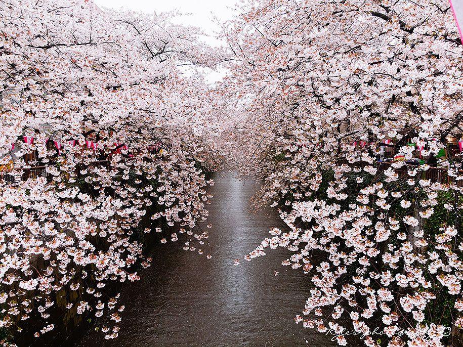 2014 Japanese Cherry Blossom Blooming Sakura 1 Cherry Blossom Japan Japanese Cherry Blossom Cherry Blossom Season