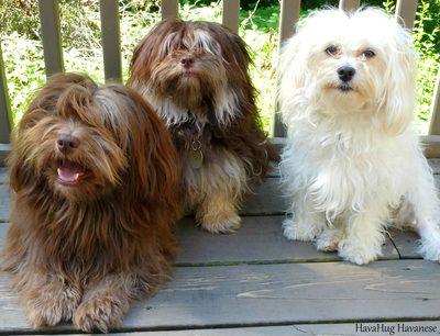 Havahug Havanese Puppies Www Havahughavanese Com Havanese