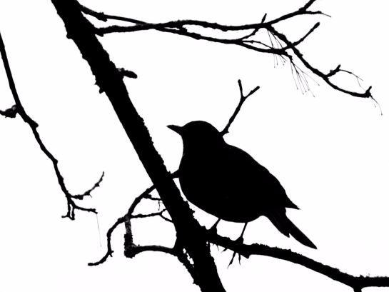 amsel als scherenschnitt schwarzweiss vogel bird scherenschnitte papercut pinterest. Black Bedroom Furniture Sets. Home Design Ideas