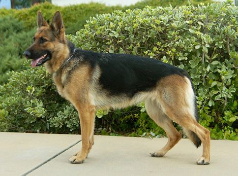 Pin On Gsd Lover