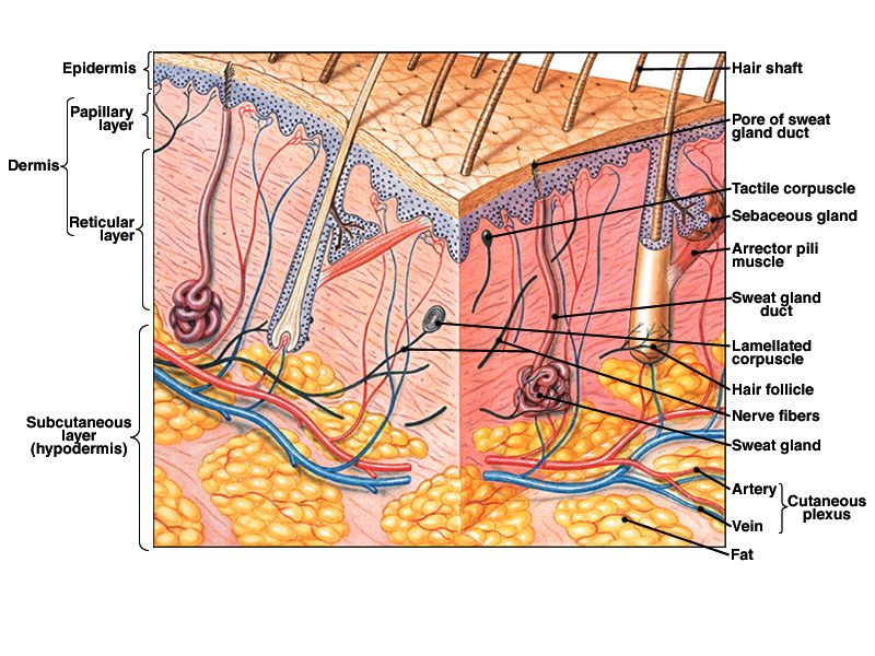 skin structure | Anatomy | Pinterest | Skin structure and Study notes