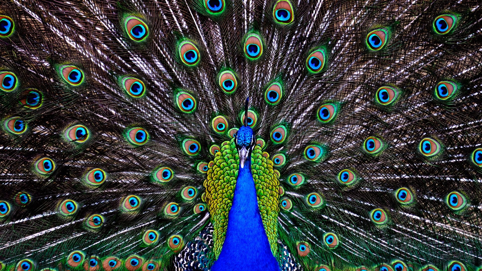 peacock beautiful hd wallpaper free download | mother earth