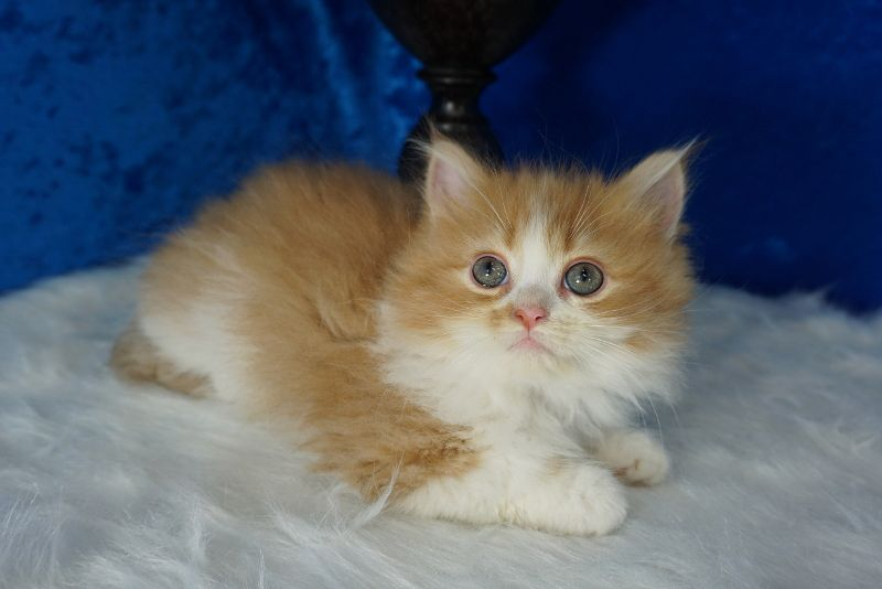 Leo Golden Bicolor Tabby Solid Ragamuffin Cat Kitten From Www