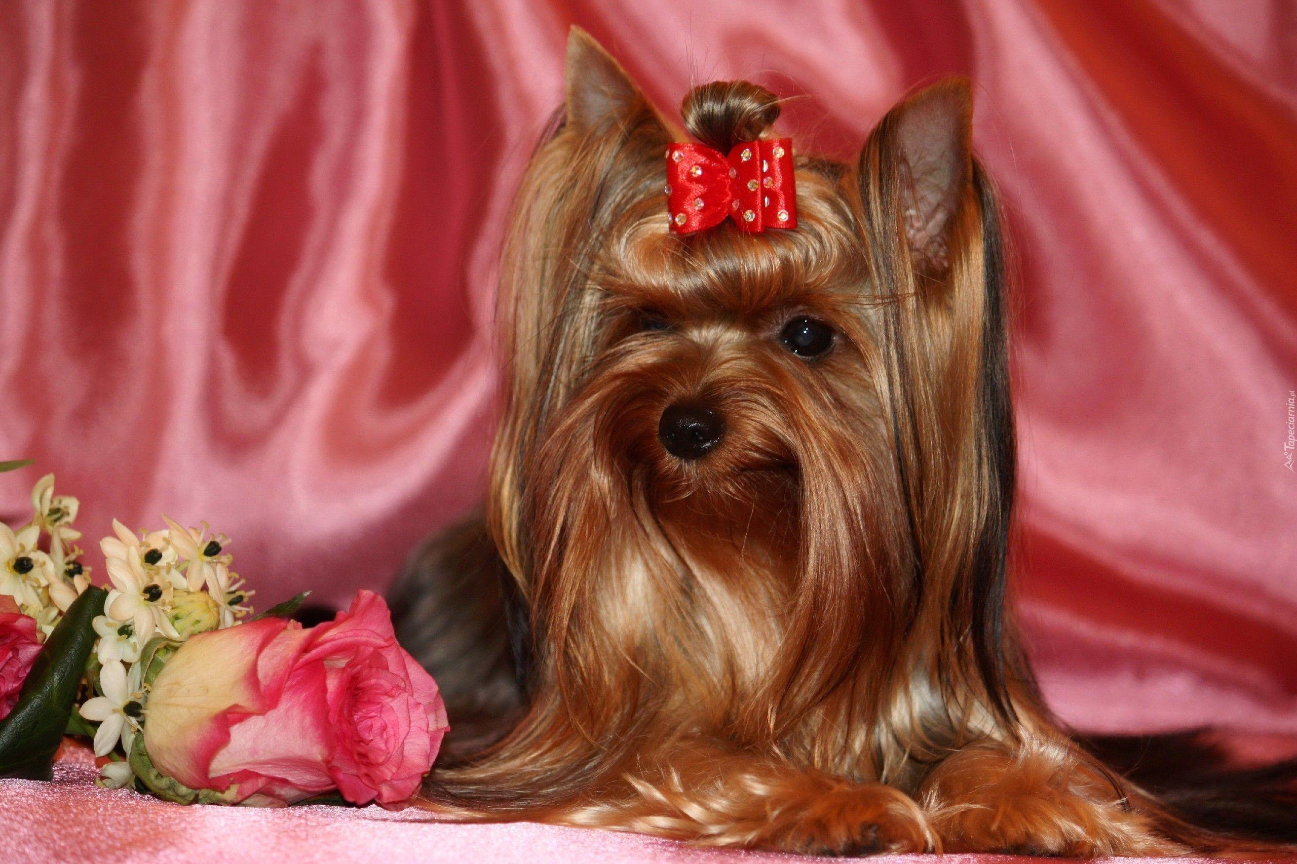 Edycja Tapety: Yorlshire Terrier, Kokardka, Kwiatki