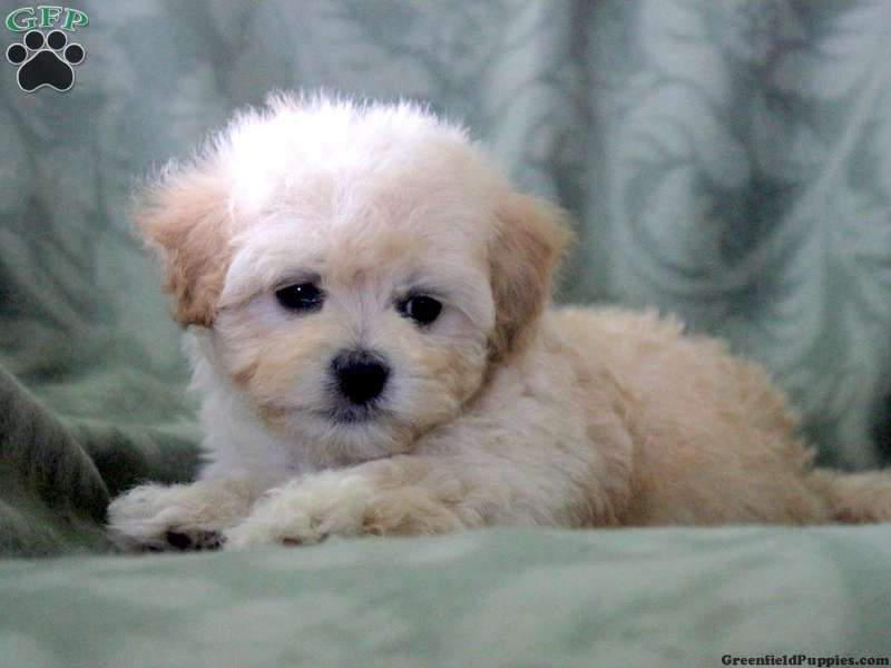 Apple Maltipoo Puppy From Mount Joy Pa Maltipoo Puppy