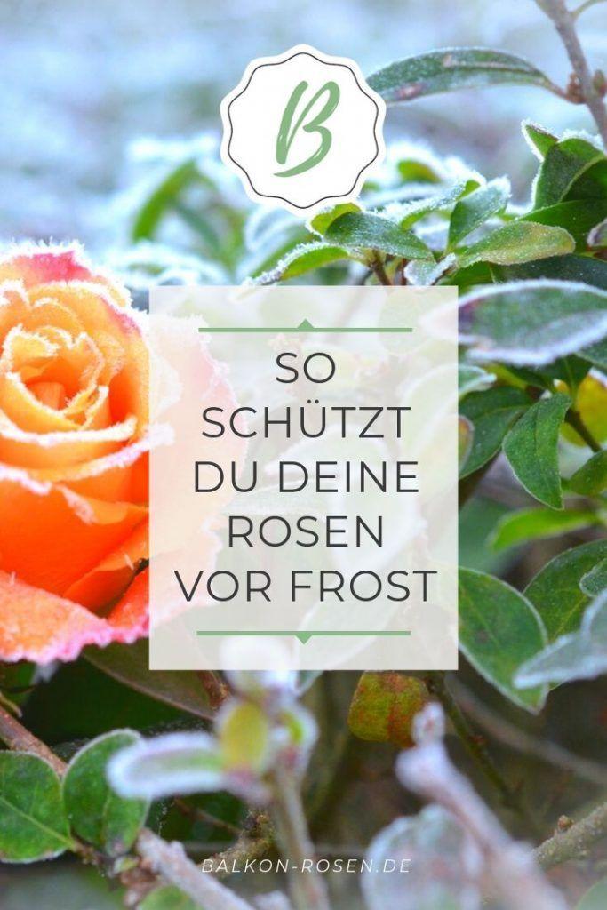 Golden Celebration Sorte Stammrose Pflanzen Garten Pflanzen Rosenstrauch Rosenarten