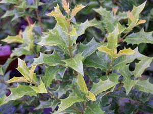 Osmanthus Heterophyllus Ogon Holly Like Golden Yellow Leaves Partial Shade