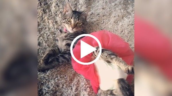 Cats Who Can't Walk Know Exactly How To Get Around