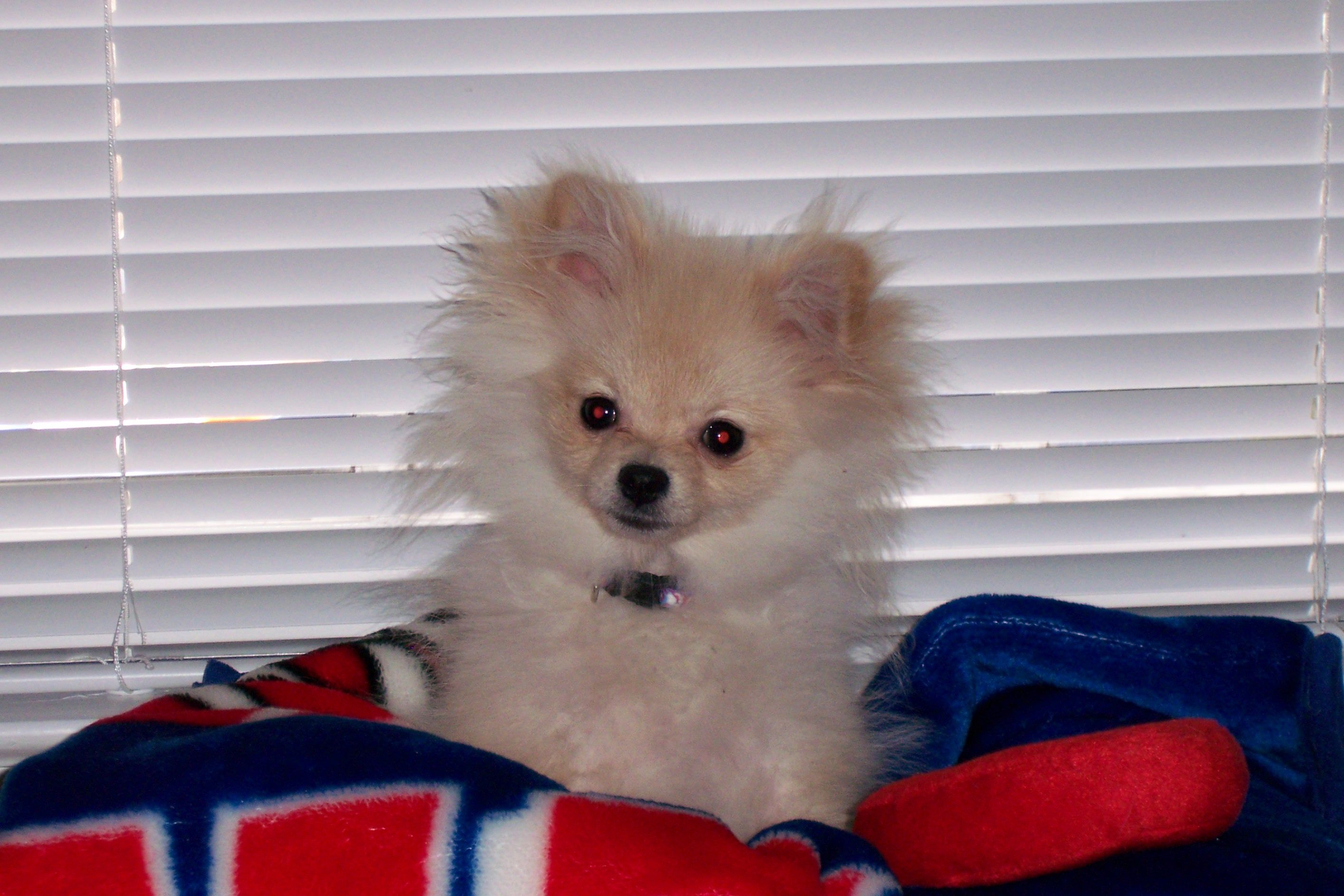 Pomeranian Pom Dog Puppy Puppy Uglies With Images Cute