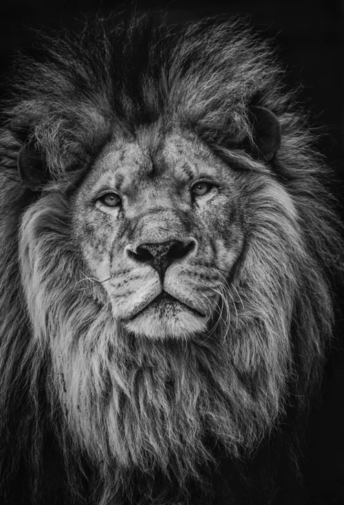 20 Lion Pictures Images Download Free Images Stock Photos Images, Photos, Reviews