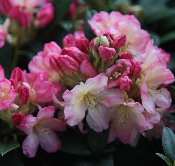 Rhododendron Percy Wiseman Yakushimanum Rhododendron Beautiful Flowers Pictures Rhododendron Flowers