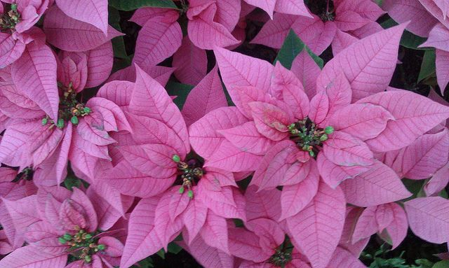 Poinsettias Are Modified Leaves The Real Flowers Are Actually The Little Buds In The Center Of The Plant Poinsettia Flower Flower Names Types Of Flowers