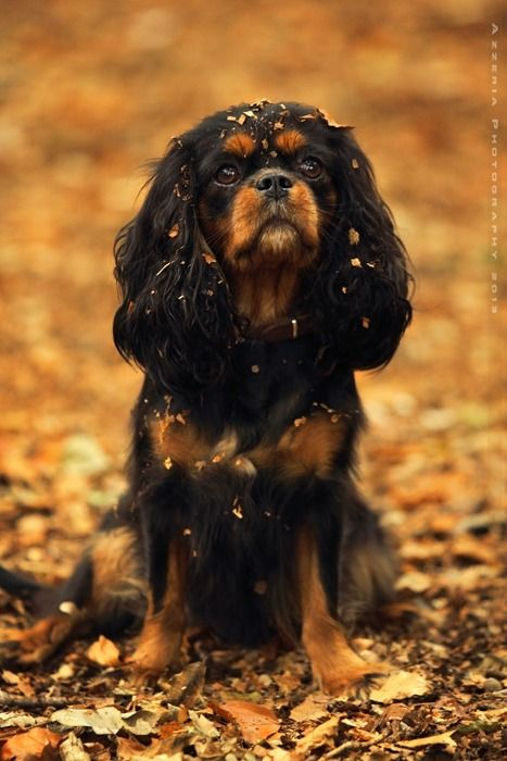 I Don T Understand Why Black Tan Cavaliers Aren T As Popular As