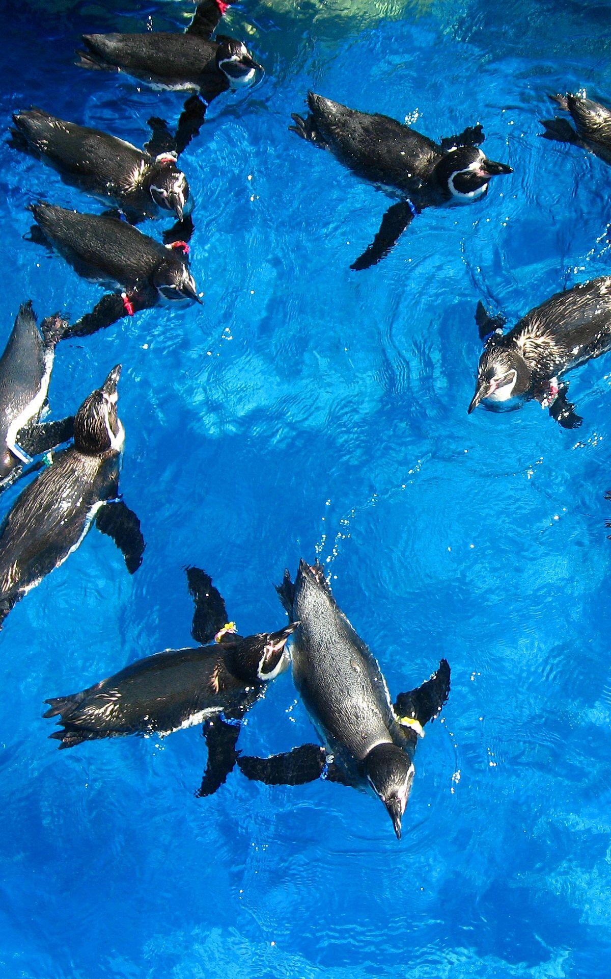 アクアワールド大洗水族館 フンボルトペンギン フンボルトペンギン 動物 水族館