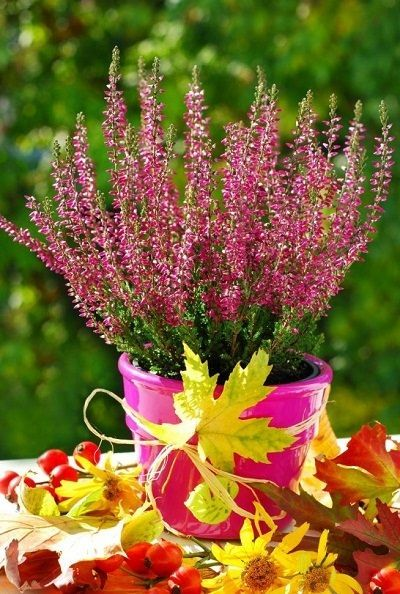 Growing Heather In Pots Heather Plant Plants Flower Pots