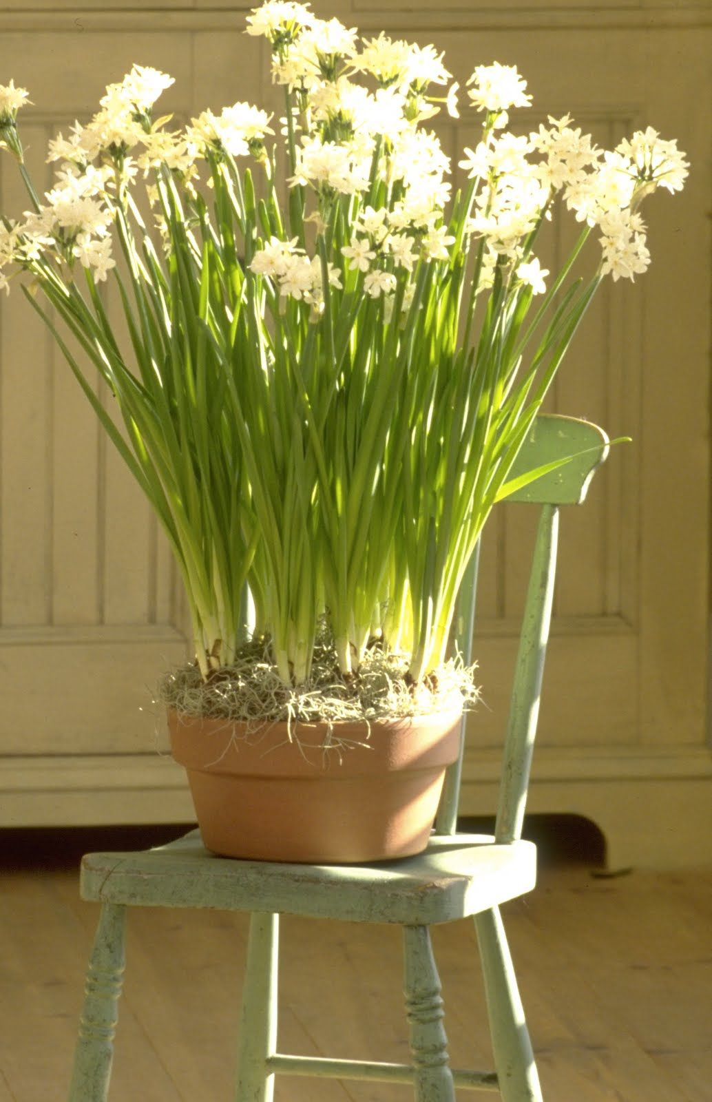 Pictures Of Paperwhites Google Search Paperwhites Pinterest