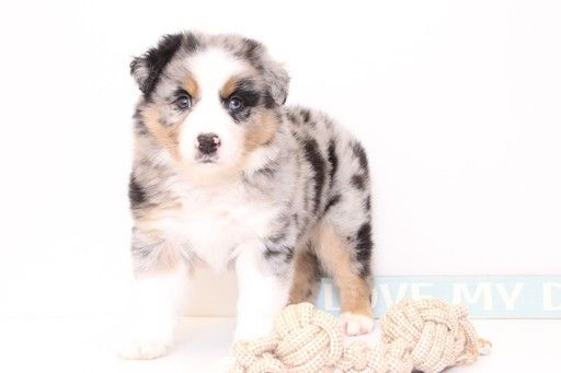 Australian Shepherd Puppy For Sale In Naples Fl Adn 28245 On