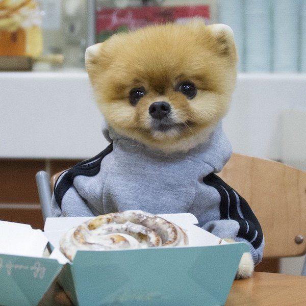 Jiff The Cutest World Famous Pomeranian Dog Out Jiff The - Jiff the pomeranian is easily the best dressed model on instagram