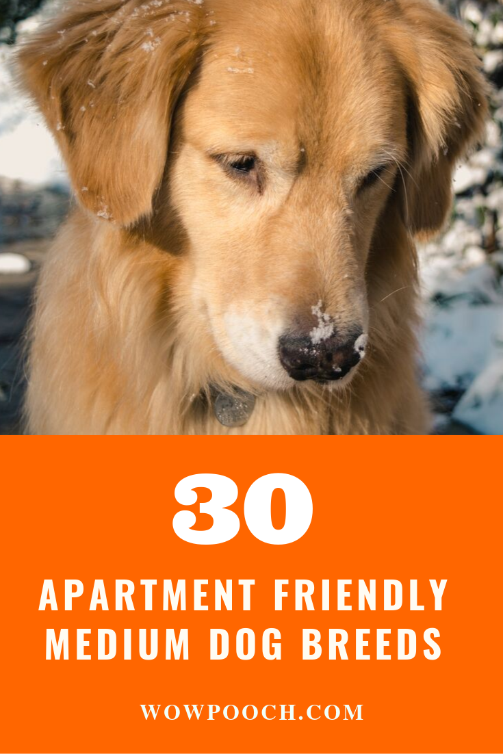 30 Top Medium Dog Breeds For Apartment Friendly Lifestyle Dog Breeds Medium Apartment Dogs Breeds Medium Dogs